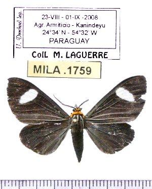 (Calodesma collaris - MILA 1759)  @14 [ ] Copyright (2012) Michel Laguerre Research Collection of Michel Laguerre