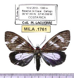 (Pseudophaloe cotta - MILA 1761)  @13 [ ] Copyright (2012) Michel Laguerre Research Collection of Michel Laguerre