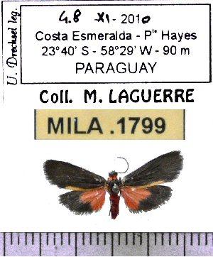(Illice calochroma - MILA 1799)  @12 [ ] Copyright (2012) Michel Laguerre Research Collection of Michel Laguerre
