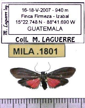 (Nodozana fifina - MILA 1801)  @12 [ ] Copyright (2012) Michel Laguerre Research Collection of Michel Laguerre