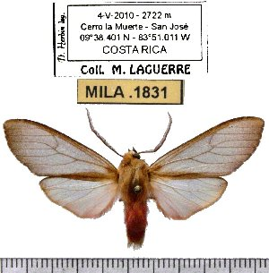 (Pseudohemihyalea sp-2ML - MILA 1831)  @13 [ ] Copyright (2012) Michel Laguerre Research Collection of Michel Laguerre
