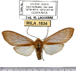 (Pseudohemihyalea despaignei - MILA 1834)  @13 [ ] Copyright (2012) Michel Laguerre Research Collection of Michel Laguerre