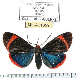 (Coreura sp-2ML - MILA 1859)  @11 [ ] Copyright (2012) Michel Laguerre Research Collection of Michel Laguerre