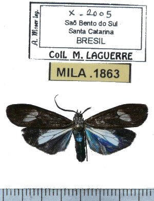 (Agyrta albisparsa - MILA 1863)  @14 [ ] Copyright (2012) Michel Laguerre Research Collection of Michel Laguerre