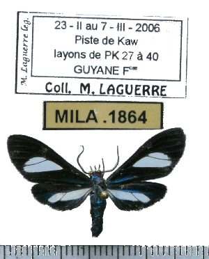 (Euagra coelestina - MILA 1864)  @14 [ ] Copyright (2012) Michel Laguerre Research Collection of Michel Laguerre