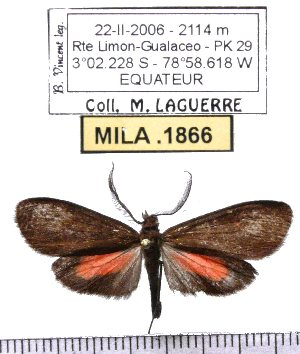 (Epectaptera - MILA 1866)  @14 [ ] Copyright (2012) Michel Laguerre Research Collection of Michel Laguerre