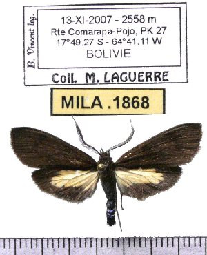 (Epectaptera agualanii - MILA 1868)  @12 [ ] Copyright (2012) Michel Laguerre Research Collection of Michel Laguerre