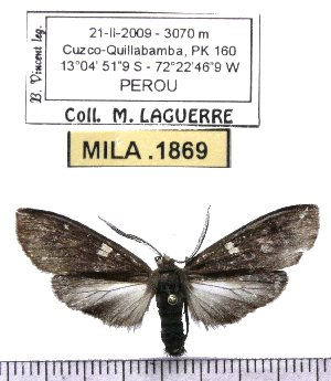 (Epectaptera sp-1ML - MILA 1869)  @12 [ ] Copyright (2012) Michel Laguerre Research Collection of Michel Laguerre