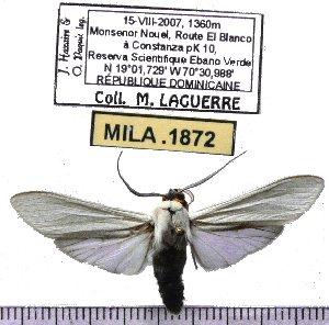 (Lymire albipennis - MILA 1872)  @12 [ ] Copyright (2012) Michel Laguerre Research Collection of Michel Laguerre