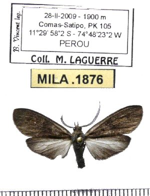 (Epectaptera sp-2ML - MILA 1876)  @12 [ ] Copyright (2012) Michel Laguerre Research Collection of Michel Laguerre