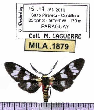 (Eurota elegans - MILA 1879)  @13 [ ] Copyright (2012) Michel Laguerre Research Collection of Michel Laguerre