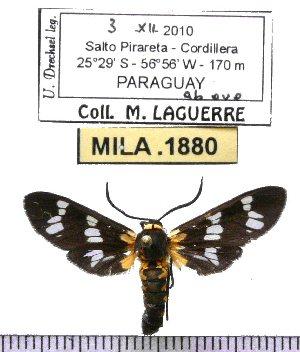 (Eurota strigiventris - MILA 1880)  @12 [ ] Copyright (2012) Michel Laguerre Research Collection of Michel Laguerre