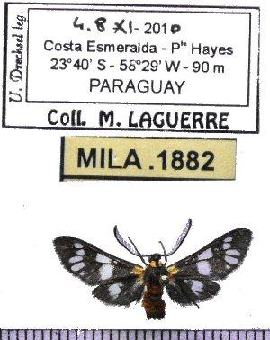 (Eurota nigricincta - MILA 1882)  @12 [ ] Copyright (2012) Michel Laguerre Research Collection of Michel Laguerre