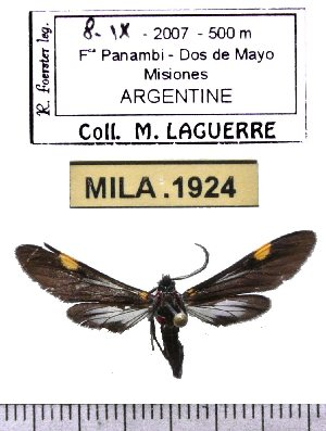 (Rhynchopyga meisteri - MILA 1924)  @14 [ ] Copyright (2012) Michel Laguerre Research Collection of Michel Laguerre