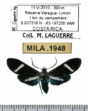 (Aclytia albistriga - MILA 1948)  @14 [ ] Copyright (2012) Michel Laguerre Research Collection of Michel Laguerre