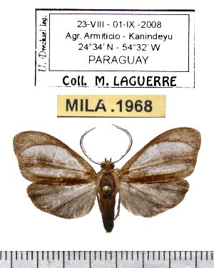 (Tricypha nigrescens - MILA 1968)  @13 [ ] Copyright (2012) Michel Laguerre Research Collection of Michel Laguerre