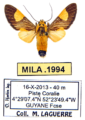 (Rhipha sp. ML1 - MILA 1994)  @13 [ ] Unspecified (default): All Rights Reserved  Unspecified Unspecified