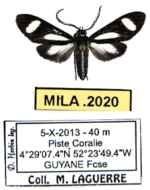 (Heliura semihyalina - MILA 2020)  @14 [ ] Unspecified (default): All Rights Reserved  Unspecified Unspecified