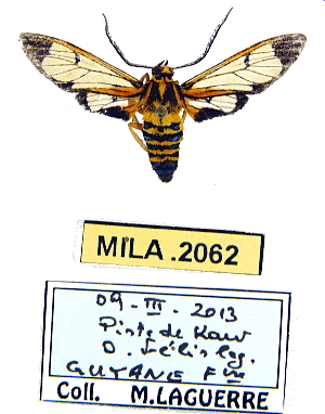 (Leucotmemis guyanensis - MILA 2062)  @14 [ ] Unspecified (default): All Rights Reserved  Unspecified Unspecified