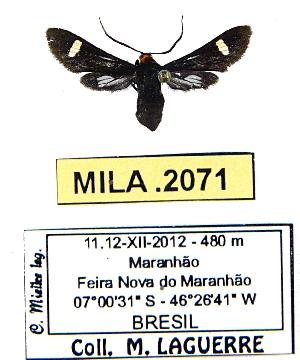 (Rhynchopyga discalba - MILA 2071)  @13 [ ] Unspecified (default): All Rights Reserved  Unspecified Unspecified