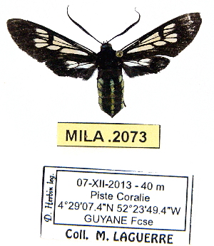 (Autochloris enagrus - MILA 2073)  @14 [ ] Unspecified (default): All Rights Reserved  Unspecified Unspecified