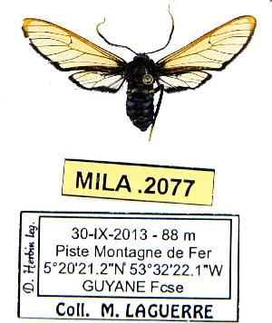 (Leucotmemis morvanae - MILA 2077)  @14 [ ] Unspecified (default): All Rights Reserved  Unspecified Unspecified