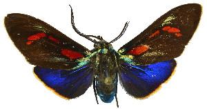 (Cyanopepla hurama - MILA 2303)  @11 [ ] by-nc-sa (2007) M. Laguerre Unspecified