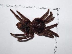 (Aphonopelma sp - CCDB-11311 A03)  @13 [ ] Copyright (2012) C. Viquez Instituto Nacional de Biodiversidad