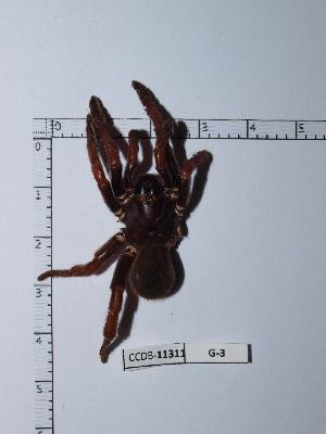 (Barychelidae - CCDB-11311 G03)  @12 [ ] Copyright (2012) C. Viquez Instituto Nacional de Biodiversidad
