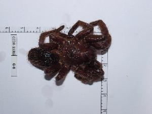 (Aphonopelma burica - CCDB-11312 G08)  @13 [ ] Copyright (2012) C. Viquez Instituto Nacional de Biodiversidad