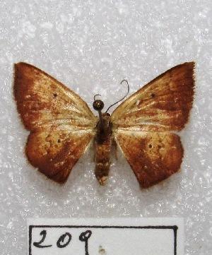 "(Mimomma - MACN-Bar-Lep-ct 00209)  @14 [ ] Copyright (2013) MACN Museo Argentino de Ciencias Naturales ""Bernardino Rivadavia"""