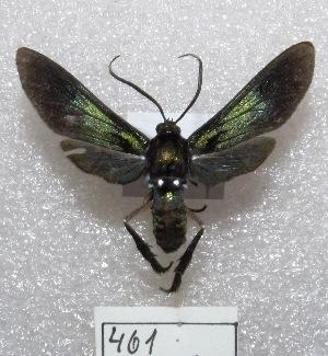 "(Macrocneme sp - MACN-Bar-Lep-ct 00461)  @14 [ ] Copyright (2013) MACN Museo Argentino de Ciencias Naturales ""Bernardino Rivadavia"""