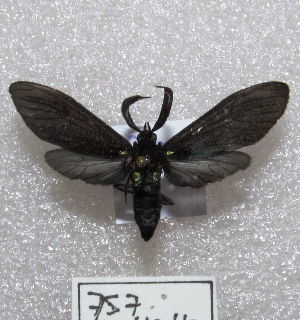 "(Sciopsyche - MACN-Bar-Lep-ct 00757)  @15 [ ] Copyright (2013) MACN Museo Argentino de Ciencias Naturales ""Bernardino Rivadavia"""