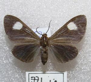 "(Calodesma sp - MACN-Bar-Lep-ct 00771)  @14 [ ] Copyright (2013) MACN Museo Argentino de Ciencias Naturales ""Bernardino Rivadavia"""