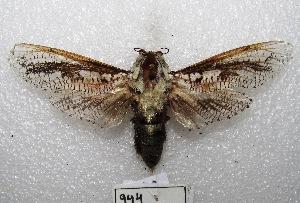 "(Morpheis strigillata - MACN-Bar-Lep-ct 00944)  @14 [ ] Copyright (2013) MACN Museo Argentino de Ciencias Naturales ""Bernardino Rivadavia"""