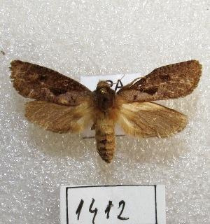 "(Acrolophus elongatus - MACN-Bar-Lep-ct 01412)  @14 [ ] Copyright (2013) MACN Museo Argentino de Ciencias Naturales ""Bernardino Rivadavia"""
