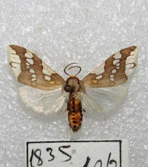 "(Tessellota - MACN-Bar-Lep-ct 01835)  @15 [ ] Copyright (2013) MACN Museo Argentino de Ciencias Naturales ""Bernardino Rivadavia"""