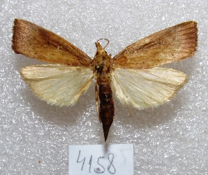 "(Xubida sp - MACN-Bar-Lep-ct 04158)  @14 [ ] Copyright (2013) MACN Museo Argentino de Ciencias Naturales ""Bernardino Rivadavia"""