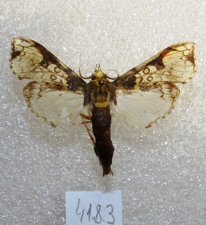 "(Megastes grandalis - MACN-Bar-Lep-ct 04183)  @13 [ ] Copyright (2013) MACN Museo Argentino de Ciencias Naturales ""Bernardino Rivadavia"""