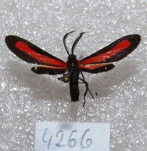 "(Tipulodes ima - MACN-Bar-Lep-ct 04266)  @13 [ ] Copyright (2013) MACN Museo Argentino de Ciencias Naturales ""Bernardino Rivadavia"""