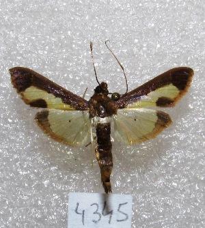 """(Diaphania sp - MACN-Bar-Lep-ct 04345)  @14 [ ] Copyright (2013) MACN Museo Argentino de Ciencias Naturales """"Bernardino Rivadavia"""""""