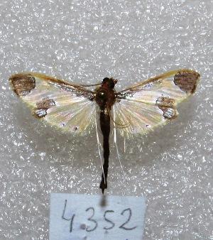"(Syllepis sp. PL1 - MACN-Bar-Lep-ct 04352)  @12 [ ] Copyright (2013) MACN Museo Argentino de Ciencias Naturales ""Bernardino Rivadavia"""