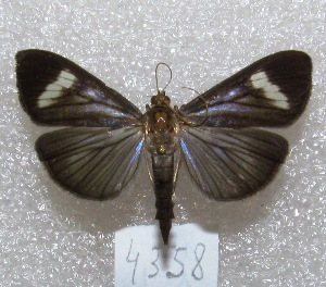 "( - MACN-Bar-Lep-ct 04358)  @13 [ ] Copyright (2013) MACN Museo Argentino de Ciencias Naturales ""Bernardino Rivadavia"""