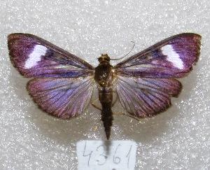 "( - MACN-Bar-Lep-ct 04361)  @12 [ ] Copyright (2013) MACN Museo Argentino de Ciencias Naturales ""Bernardino Rivadavia"""