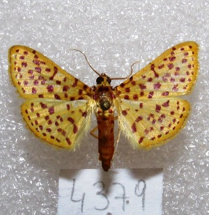 "(Polygrammodes elevata - MACN-Bar-Lep-ct 04379)  @13 [ ] Copyright (2013) MACN Museo Argentino de Ciencias Naturales ""Bernardino Rivadavia"""