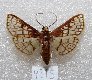 "(Polygrammodes sp - MACN-Bar-Lep-ct 04395)  @15 [ ] Copyright (2013) MACN Museo Argentino de Ciencias Naturales ""Bernardino Rivadavia"""