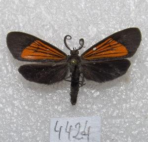 "(Episcea - MACN-Bar-Lep-ct 04424)  @14 [ ] Copyright (2013) MACN Museo Argentino de Ciencias Naturales ""Bernardino Rivadavia"""