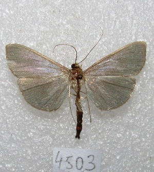 "( - MACN-Bar-Lep-ct 04503)  @11 [ ] Copyright (2013) MACN Museo Argentino de Ciencias Naturales ""Bernardino Rivadavia"""