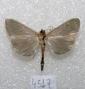 "(Heterodes - MACN-Bar-Lep-ct 04517)  @14 [ ] Copyright (2013) MACN Museo Argentino de Ciencias Naturales ""Bernardino Rivadavia"""