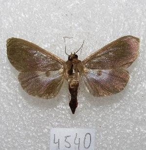 "(Syllepte laticalis - MACN-Bar-Lep-ct 04540)  @14 [ ] Copyright (2013) MACN Museo Argentino de Ciencias Naturales ""Bernardino Rivadavia"""